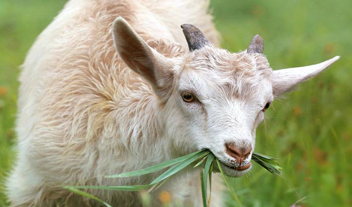 पौधे खाने के जुर्म में Arrest की 15 बकरियां, 3-3 हजार रुपए जुर्माना भी लगा
