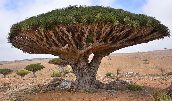 ये है जादुई पेड़, इसको काटने पर निकलता है इंसानों की तरह खून