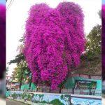 Uttarakhand: अल्मोड़ा में भारी बारिश से गिरा एक सदी पुराना आइकॉनिक देवदार-बोगनवेलिया पेड़