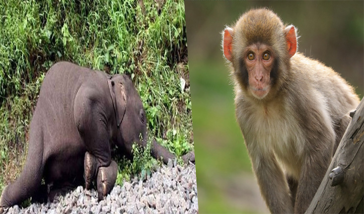 Uttarakhand: सरकार ने मांगी बंदरों को मारने की अनुमति; पंतनगर में हाथी मरने से मचा हड़कंप
