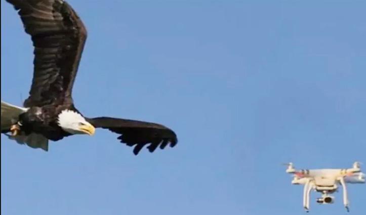 आसमान में Drone उड़ा रहे थे अधिकारी, तभी बाज ने मारा झपट्टा और ….