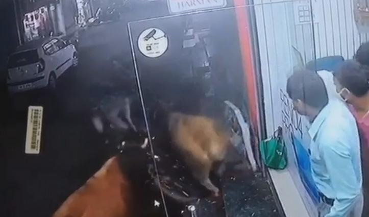 आपस में भिड़ रहे दो लावारिस बैल बाइक सवार युवकों पर गिरे, बाल-बाल बची जान, देखें Video