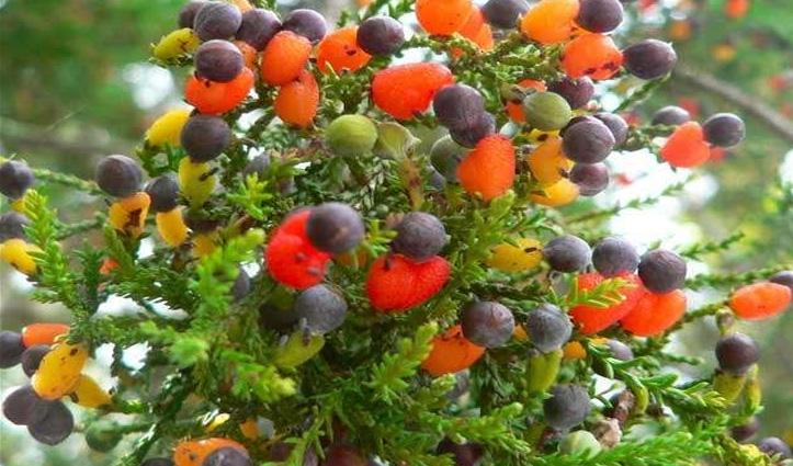 गजब! इस अनोखे पेड़ एक-दो नहीं लगते हैं 40 तरह के अलग-अलग फल