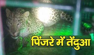 पिंजरे में तेंदुआ