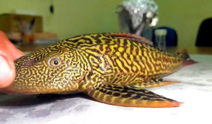 गंगा में मिली South America में पाई जाने वाली मछली, वैज्ञानिकों ने जाहिर की ये चिंता