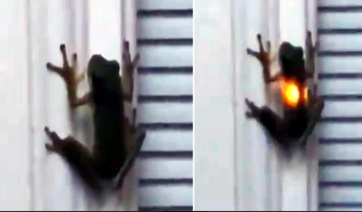 Viral Video : रात में चमकने लगा ये मेंढक, जानिए क्या है वजह