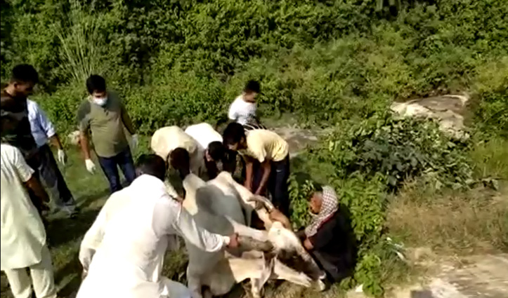 Bangana में खाई में धकेला गौवंश, जहरीली दवा की Overdose भी दी