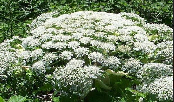 सांप से भी ज्यादा जहरीला है ये पौधा, छूने भर से जा सकती है जान
