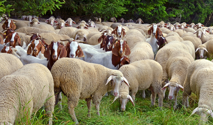 CSKHPAU to speed up research work on Sheep and Goat