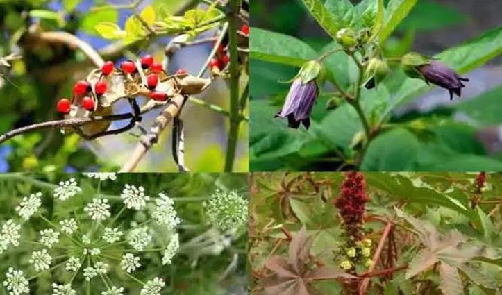 दुनिया के पांच खतरनाक पौधे, छूने भर से ले सकते हैं आपकी जान