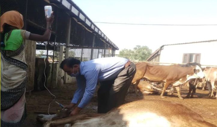 #Haryana में 'फूड पॉइज़निंग' के कारण 70 गायों की मौत; 30 बीमार