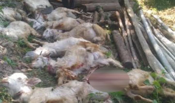Gohar: तेंदुए ने देर रात बकरियों के शेड पर बोला धावा, 12 को मार गिराया