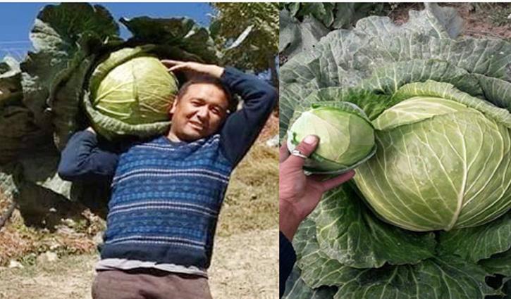 जैविक खेती से उगाई 17.2 किलो की बंद गोभी