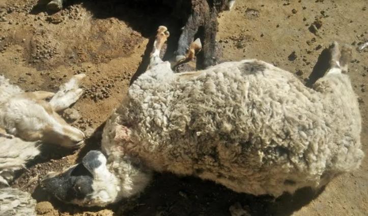 #Snow_Leopard ने हमला कर ली 8 भेड़-बकरियों की जान, 6 शेड से लापता