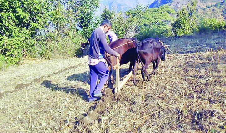 #Kangra में किसानों ने बिना खाद ही कर दी गेहूं की बिजाई, 60 रुपए मिल रहा आलू बीज