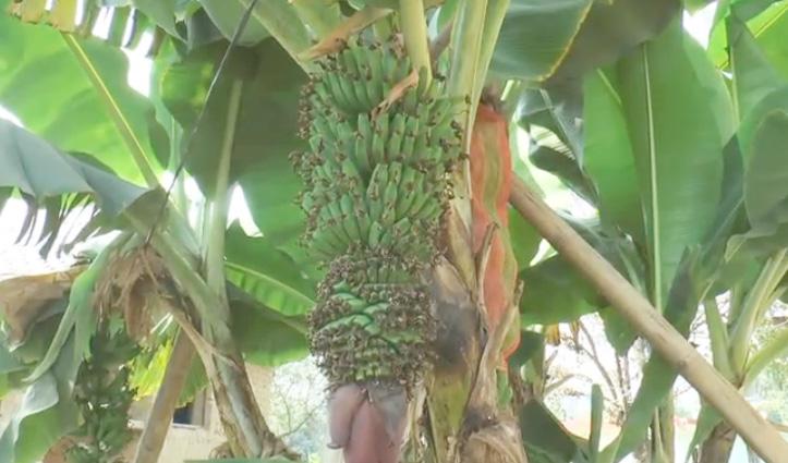 हिमाचली चखेंगे महाराष्ट्र के Banana का स्वाद, एक-एक पौधे पर सैकड़ों फल देख किसानों के चेहरे खिले
