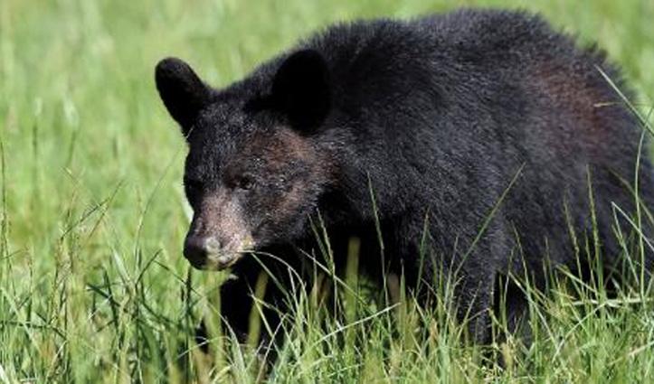 Sirmaur: पशुओं के लिए चारा लेने जंगल गए बाप-बेटी पर भालू ने किया हमला, दोनों गंभीर घायल
