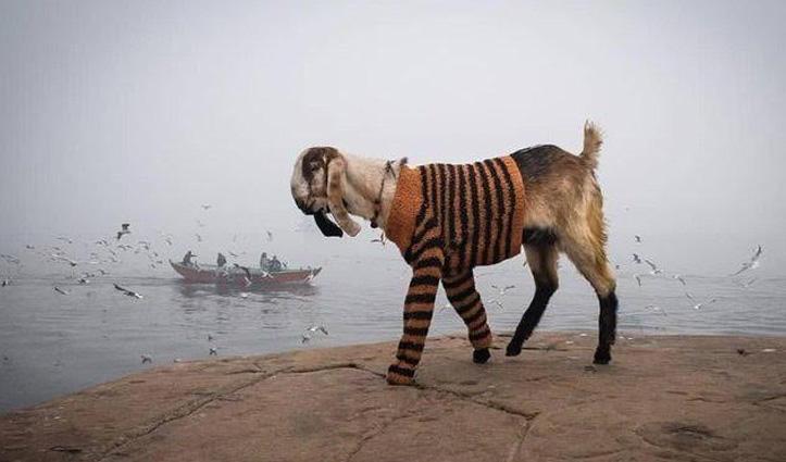 ठंड में Sweater पहनकर निकला बकरा, #IPS ने दिया ऐसा Reaction