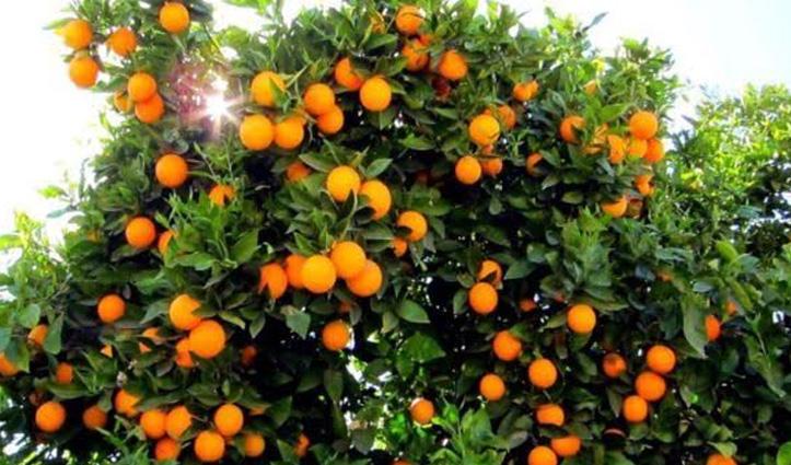 दरवाजे के सामने लगाएं नारंगी का पौधा, घर में आएगी संपन्नता