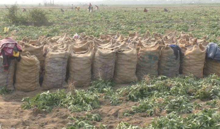 देश भर की मंडियों में धाक जमाने को तैयार #Una का आलू, किसानों को अच्छा रेट मिलने की उम्मीद