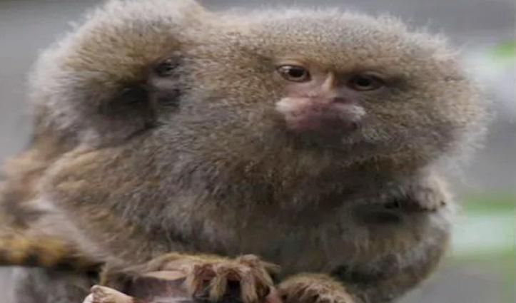 कहां हैं दुनिया के सबसे छोटे बंदर, जिनका साइज Ping Pong Ball से भी कम, तो पढ़िए पूरी खबर
