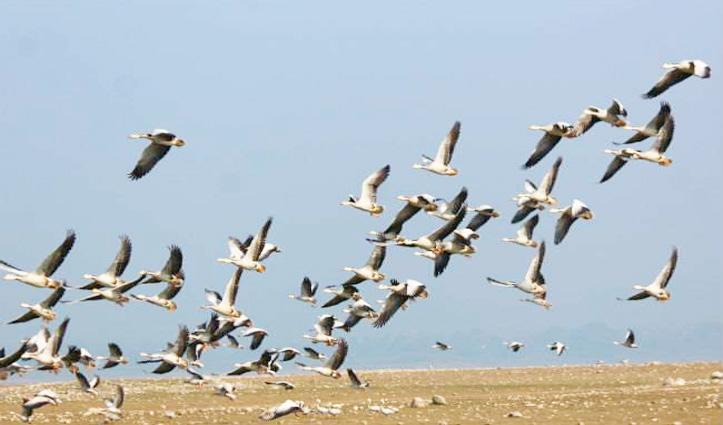 #birdflu : पौंग झील में पांच प्रवासी पक्षी मिले मृत, अब तक 4,977 की गई जान