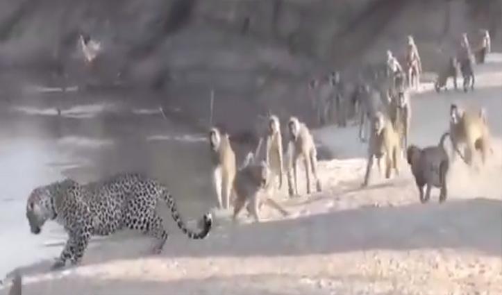 तालाब पर पानी पीने जा रहा था #Leopard पीछे पड़ गए लंगूर, फिर जो हुआ