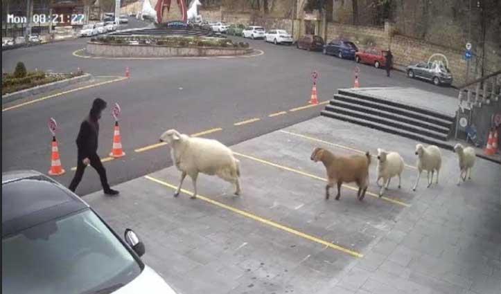 #Viral_Video : भेड़-बकरियों ने शहर में मचाया ऐसा हंगामा, लोगों को खूब दौड़ाया