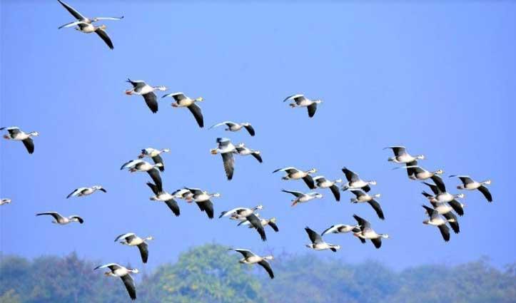 Pong Lake में प्रवासी पक्षियों की मौत के बाद विभाग अलर्ट, अब तक 421 मिले मृत