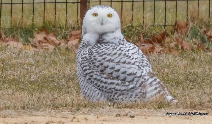Snowy Owl -130 साल के बाद पहली बार देखा गया बर्फीला उल्लू, देखने के लिए उमड़ रही भीड़
