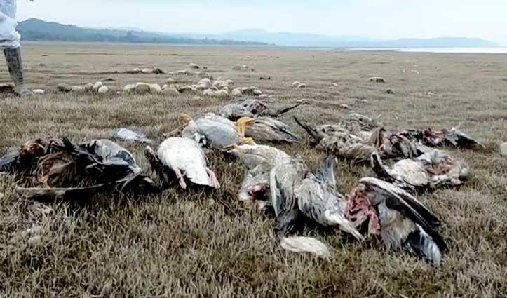 Bird Flu : अब ऐसे होंगे पौंग में मिले मृत प्रवासी पक्षी डिस्पॉज ऑफ-देखें Video