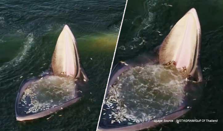 एक साथ हजारों मछलियों की दावत, Video देखकर आपको लगेगा जहाज है - लेकिन वो तो....