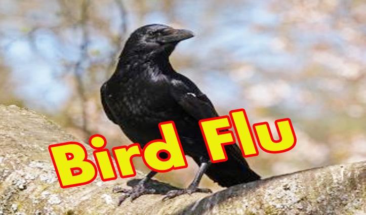 Himachal: प्रवासी पक्षियों के बाद अब कौवों में भी #Bird_Flu की पुष्टि, तीन सैंपल पॉजिटिव