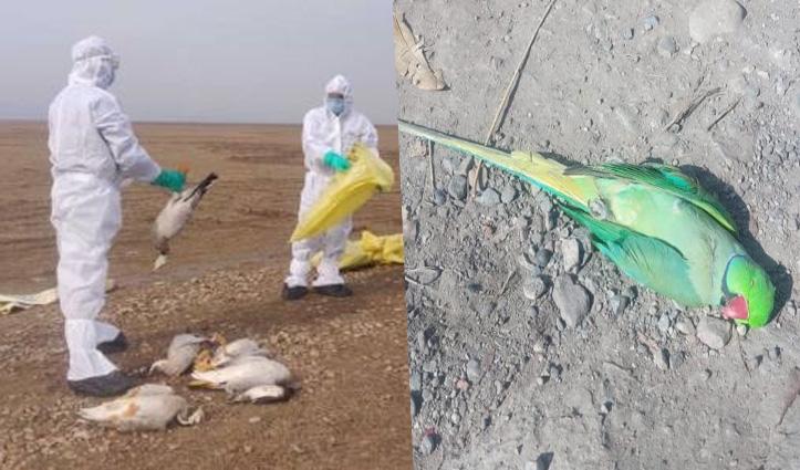 #Bird_Flu: पौंग झील में 215 प्रवासी पक्षी और सुंदरनगर में तोता मिला मृत