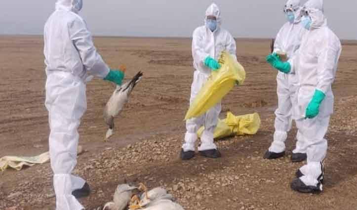 हिमाचल में Bird flu का असर : पौंग बांध क्षेत्र में आज 21 प्रवासी पक्षी मिले मृत