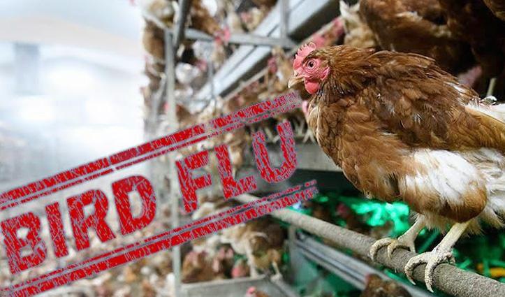 #BirdFlu हरियाणा में 4 लाख मुर्गे-मुर्गियों की मौत, जालंधर-भोपाल भेजे गए सैंपल