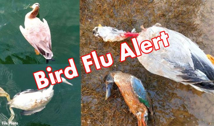 #BirdFlu_Alert: पौंग झील में दो दिन में 674 प्रवासी पक्षी मिले मृत, आज कितने- जानिए