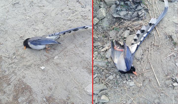 #Birdflu: पौंग में मृत मिले 7 प्रवासी पक्षी, कुल्लू में 6 पक्षियों के सैंपल जांच को भेजे