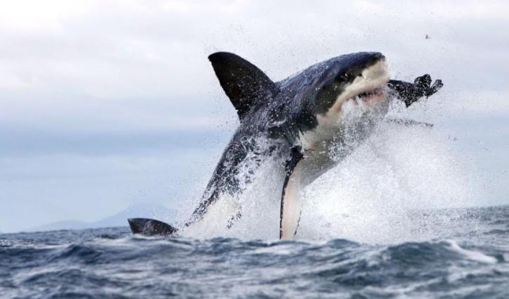 इनसानी दखल ने समुंद्र में मचाई तबाही, 70 फीसदी घट गई शार्क की आबादी