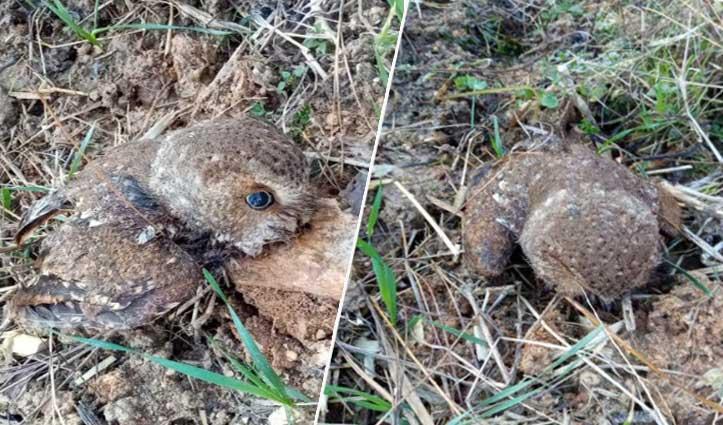 #Birdflu का खौफः मंडी के गोहर में गौशाला के बाहर मिला मृत उल्लू