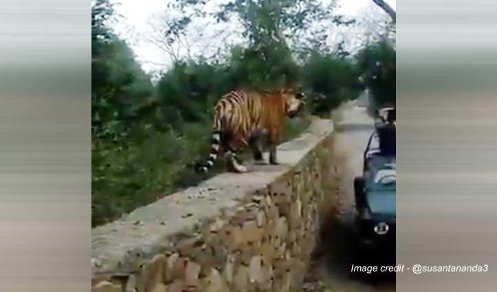 चिल्लाने की आवाज आई और ... Video देखकर चलेगा पता जब बाघ गर्दन तक आ जाए तो ...
