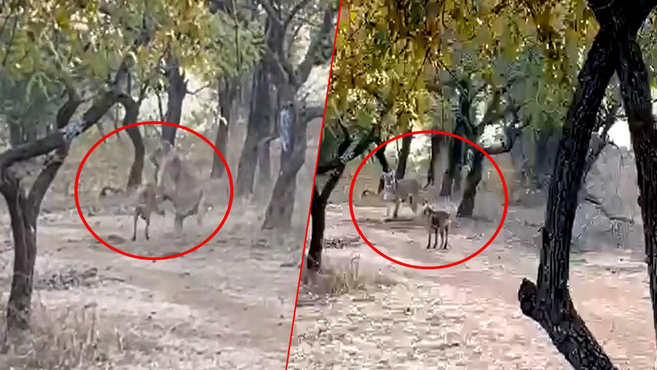 इस छोटे से जानवर ने ले लिया जंगल के राजा से पंगा, फिर हुआ येः देखें वीडियो
