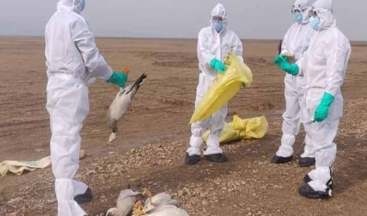 Himachal : कमजोर पड़ने लगा Birdflu का असर, पौंग बांध क्षेत्र में 26 प्रवासी पक्षियों की मौत