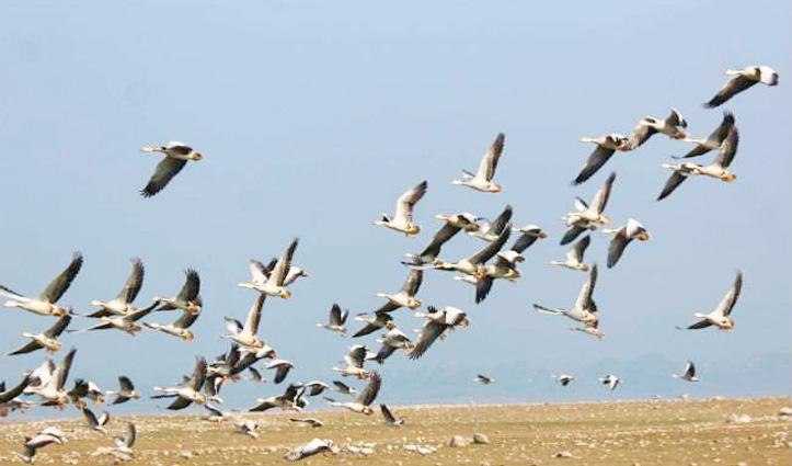 पौंग झील से छंटने लगा #Birdflu का साया, राहत भरी है यह खबर- जरूर पढ़ें