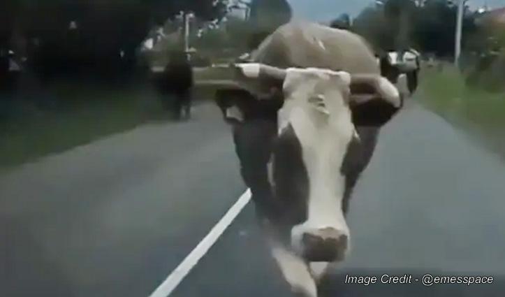 कैटवॉक करती हुई जा रही गाय, मजेदार चाल देखकर नहीं रुकेगी आपकी हंसी