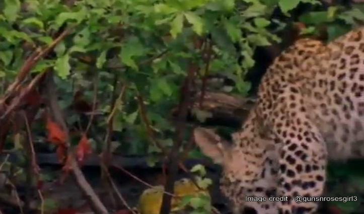 मेंढक ने तेंदुए की बोलती की बंद, डराया भी भगाया भी – देखें जबरदस्त Video