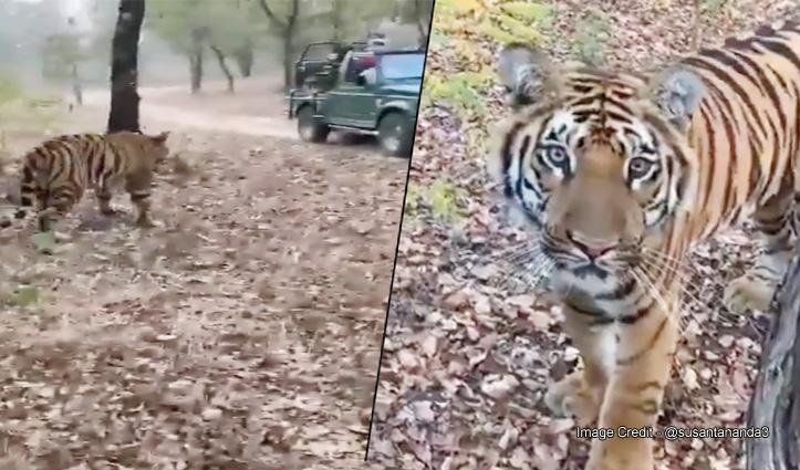 जंगल सफारी के दौरान जब गाड़ी के सामने आ धमका बाघ, फिर जो हुआ देखें वीडियो