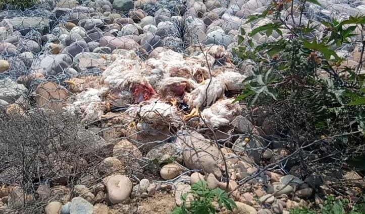 गगरेट में सड़क किनारे फेंक दिए मरे हुए मुर्गे, लोगों में मचा हड़कंप