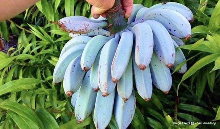 क्या कभी देखे हैं नीले रंग के केले, स्वाद एकदम आइसक्रीम जैसा