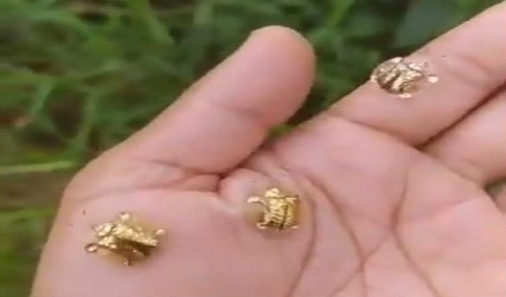 सोने जैसे दिखते हैं ये कीट, IFS Officer ने शेयर किया वीडियो, बोले- जो चमकता है वही सोना है